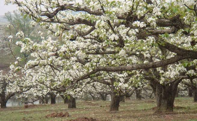 【国内】五月赏梨花、春游长白山、天池、红旗村休闲三日游